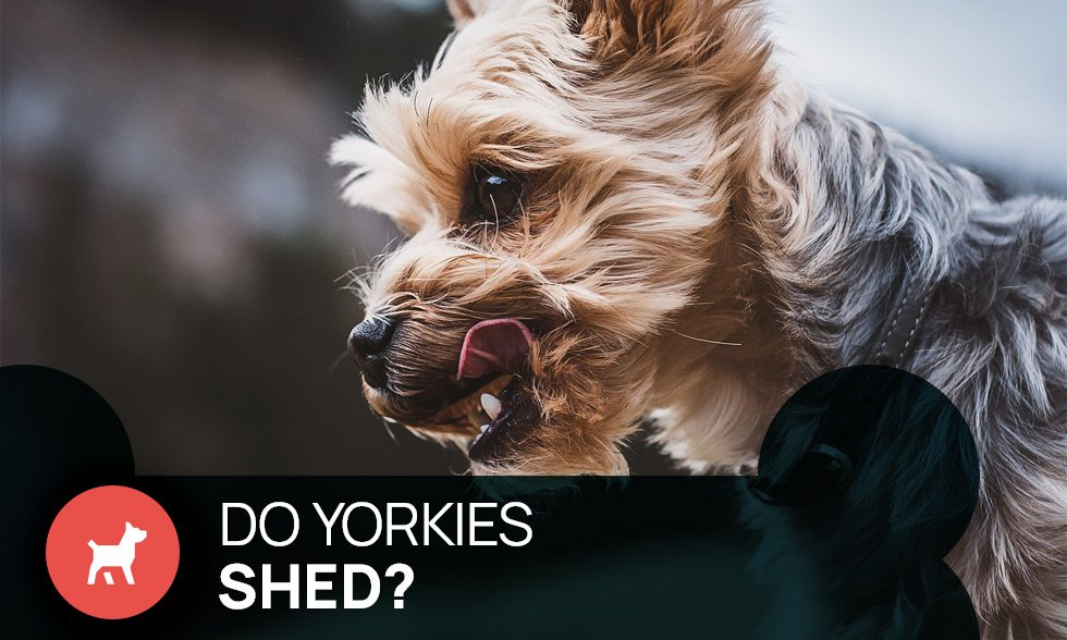 do yorkies shed