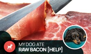 can dogs eat raw bacon