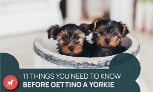 owning a yorkie