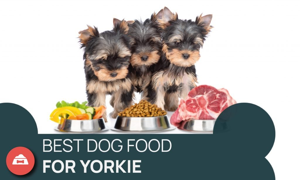 best for for yorkies